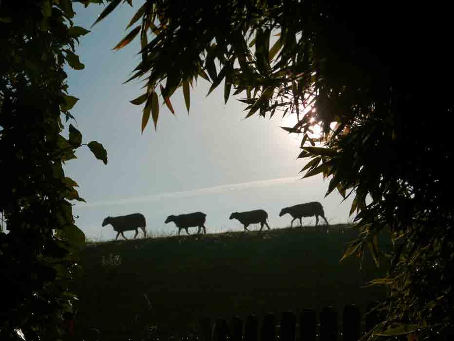 Schafe-morgens-am-Deich-Fotografie-Petra-Kolitsch-2016